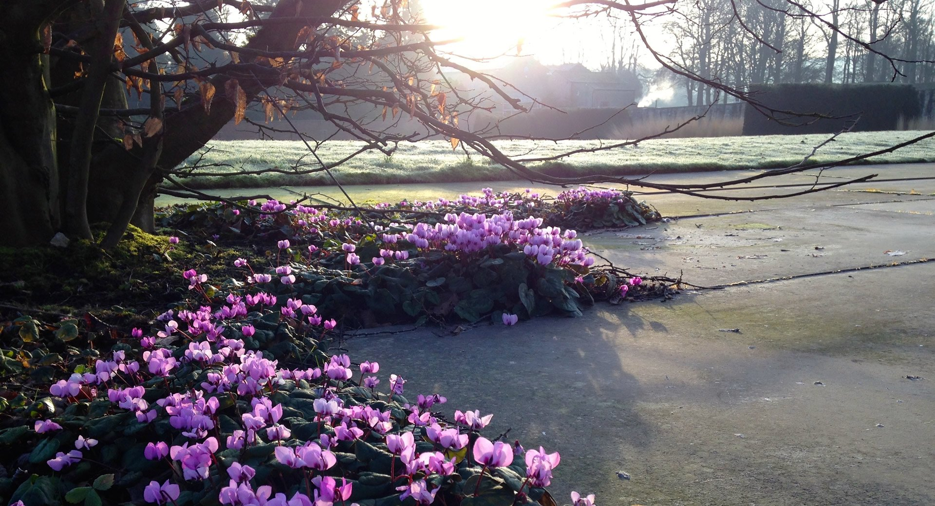 cyclamen at broughton hall