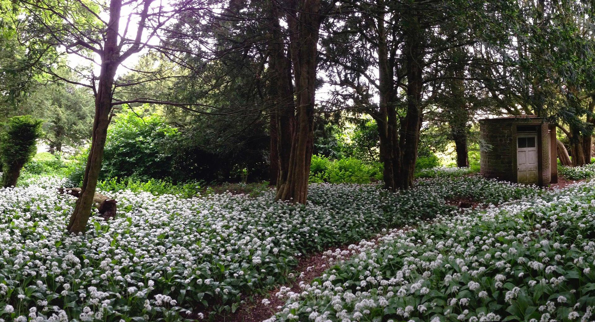 wild garlic in the forest